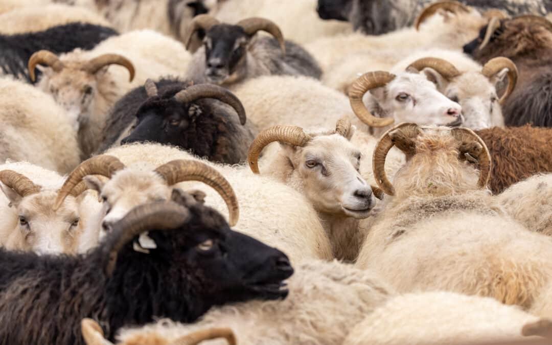 Sheep gathering